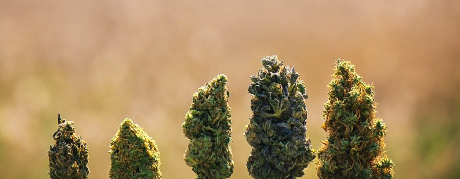 Different Ways to Trim Cannabis Throughout the Plant's Life Cycle