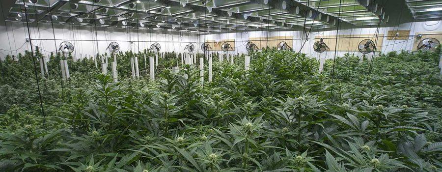Cannabis Defoliation Explained